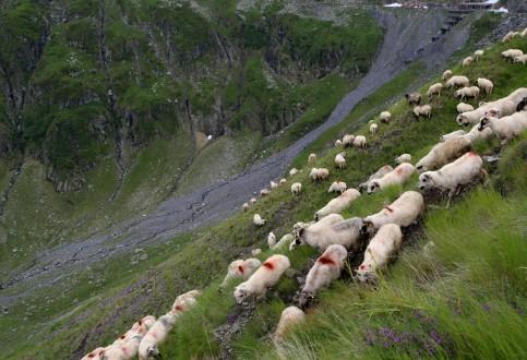 Fagarašo kalnų avys