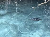 Kournas ežero vėžliai