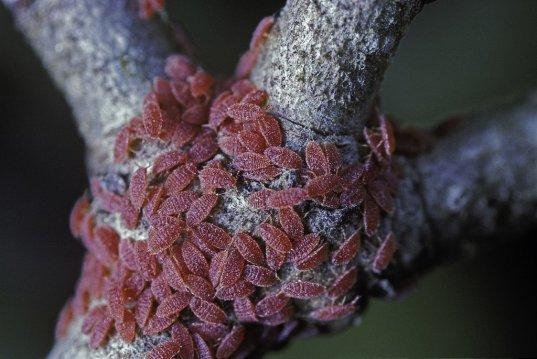 Kermes vabzdžiai